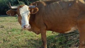 Αγελάδα Στοκ Φωτογραφία