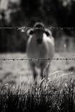 Αγελάδα Bokeh Στοκ Εικόνες