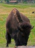 Αγελάδα Buffalo βισώνων με το κόκκινο μάτι στο κρατικό πάρκο Custer στοκ εικόνα
