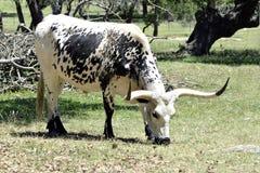 Αγελάδα Longhorn στο αγρόκτημα του Τέξας Στοκ Φωτογραφία
