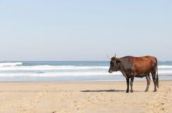 Αγελάδα Nguni στην παραλία Στοκ εικόνες με δικαίωμα ελεύθερης χρήσης