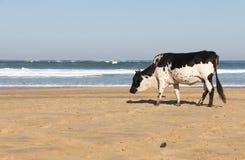 Αγελάδα Nguni στην παραλία Στοκ φωτογραφίες με δικαίωμα ελεύθερης χρήσης