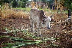 Αγελάδα Qurbani Στοκ Εικόνες