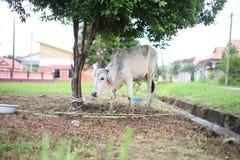 Αγελάδα Qurbani Στοκ φωτογραφία με δικαίωμα ελεύθερης χρήσης