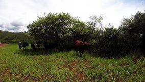 Αγελάδα Selfie απόθεμα βίντεο