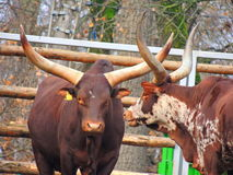 Αγελάδα Watusi Ankole Στοκ εικόνες με δικαίωμα ελεύθερης χρήσης