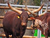 Αγελάδα Watusi Ankole Στοκ Φωτογραφίες