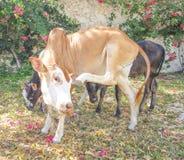 Αγελάδα Zanzibar Στοκ φωτογραφία με δικαίωμα ελεύθερης χρήσης