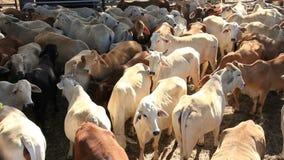 Αγελάδες βοοειδών βόειου κρέατος Brahman στη μάνδρα ναυπηγείων πώλησης απόθεμα βίντεο