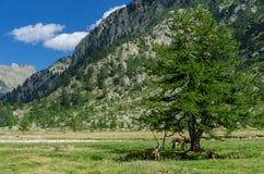 Αγελάδες βουνών Στοκ Φωτογραφία