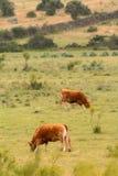 Αγελάδες βόειου κρέατος που βόσκουν στα λιβάδια Ισπανία Στοκ εικόνα με δικαίωμα ελεύθερης χρήσης