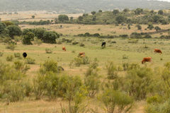 Αγελάδες βόειου κρέατος που βόσκουν στα λιβάδια της Ισπανίας Στοκ φωτογραφία με δικαίωμα ελεύθερης χρήσης