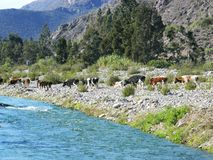 Αγελάδες για τα τρόφιμα Στοκ εικόνες με δικαίωμα ελεύθερης χρήσης
