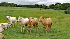 αγελάδες ευτυχείς Στοκ Εικόνες