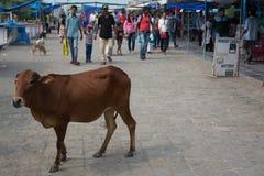 αγελάδες Ινδός Στοκ Εικόνες