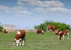 Αγελάδες και μόσχος στο λιβάδι Στοκ Φωτογραφίες