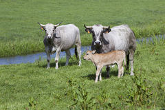 Αγελάδες και μόσχος στο λιβάδι κοντά στο Άμστερνταμ στην Ολλανδία Στοκ Φωτογραφία