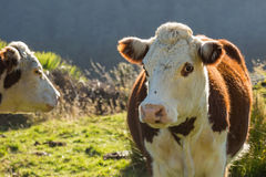 Αγελάδες και μόσχος Hereford στο λιβάδι Στοκ φωτογραφία με δικαίωμα ελεύθερης χρήσης