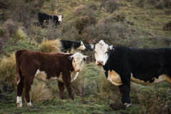 Αγελάδες και μόσχος Hereford Στοκ Εικόνες