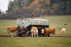 Αγελάδες και ταύροι Στοκ εικόνα με δικαίωμα ελεύθερης χρήσης