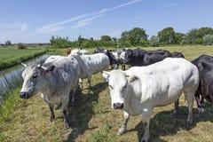 Αγελάδες και ταύρος κρέατος στο πράσινο θερινό λιβάδι Στοκ εικόνα με δικαίωμα ελεύθερης χρήσης