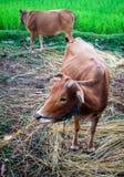 Αγελάδες και τομέας ρυζιού Στοκ Φωτογραφία