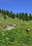 Αγελάδες κοντά στο Cason Di Lanza Στοκ Φωτογραφίες