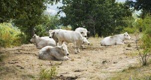 αγελάδες οκνηρές Εικόνα χρώματος Στοκ Φωτογραφίες