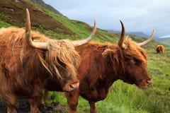 Αγελάδες ορεινών περιοχών στοκ φωτογραφίες με δικαίωμα ελεύθερης χρήσης