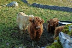 Αγελάδες ορεινών περιοχών Στοκ Φωτογραφίες