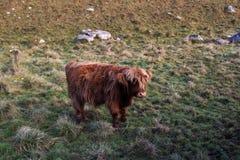 Αγελάδες ορεινών περιοχών Στοκ Εικόνα