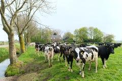 αγελάδες ολλανδικά χα&rh Στοκ φωτογραφία με δικαίωμα ελεύθερης χρήσης