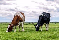 αγελάδες ολλανδικά Στοκ εικόνες με δικαίωμα ελεύθερης χρήσης