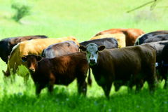 Αγελάδες ποιοι, εμείς; Στοκ Φωτογραφία