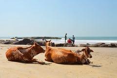 Αγελάδες που βάζουν στην παραλία Στοκ Εικόνα