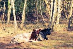 αγελάδες που βρίσκοντ&alpha Στοκ φωτογραφία με δικαίωμα ελεύθερης χρήσης