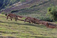Αγελάδες που βόσκουν σε έναν πράσινο θερινό τομέα Στοκ εικόνες με δικαίωμα ελεύθερης χρήσης