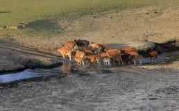 Αγελάδες που βόσκουν σε έναν πράσινο θερινό τομέα Στοκ Φωτογραφίες