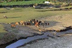 Αγελάδες που βόσκουν σε έναν πράσινο θερινό τομέα Στοκ φωτογραφίες με δικαίωμα ελεύθερης χρήσης