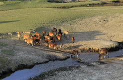Αγελάδες που βόσκουν σε έναν πράσινο θερινό τομέα Στοκ Εικόνες