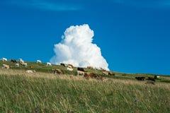Αγελάδες που βόσκουν σε ένα λιβάδι με ένα χνουδωτό σύννεφο Στοκ Φωτογραφία