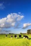 Αγελάδες που βόσκουν σε ένα λιβάδι σε ένα χαρακτηριστικό ολλανδικό τοπίο στοκ εικόνα με δικαίωμα ελεύθερης χρήσης