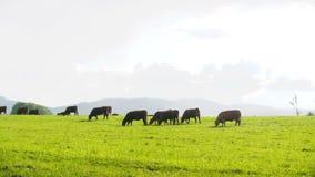 Αγελάδες που βόσκουν σε μια κοιλάδα στη Νέα Ζηλανδία φιλμ μικρού μήκους