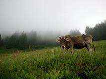 αγελάδες που βόσκουν το λιβάδι Στοκ εικόνες με δικαίωμα ελεύθερης χρήσης