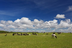 αγελάδες που βόσκουν το λιβάδι Στοκ φωτογραφία με δικαίωμα ελεύθερης χρήσης