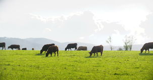 αγελάδες που βόσκουν το λιβάδι απόθεμα βίντεο