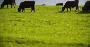 αγελάδες που βόσκουν το λιβάδι φιλμ μικρού μήκους