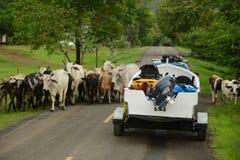 Αγελάδες που εμποδίζουν το δρόμο για το φορτηγό και τη βάρκα στον Παναμά Στοκ Φωτογραφία