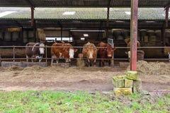 Αγελάδες που εξετάζουν τη κάμερα Στοκ Εικόνα