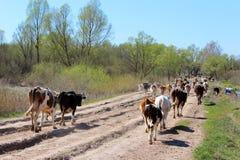 Αγελάδες που επιστρέφουν από το λιβάδι Στοκ Φωτογραφία